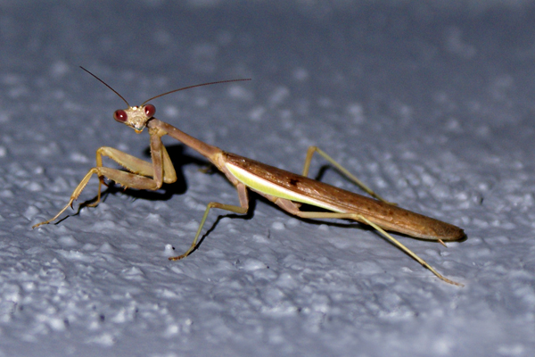 praying-mantis-cropped.jpg